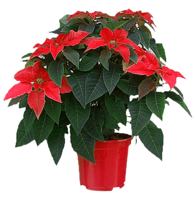 Poinsettia pot europa