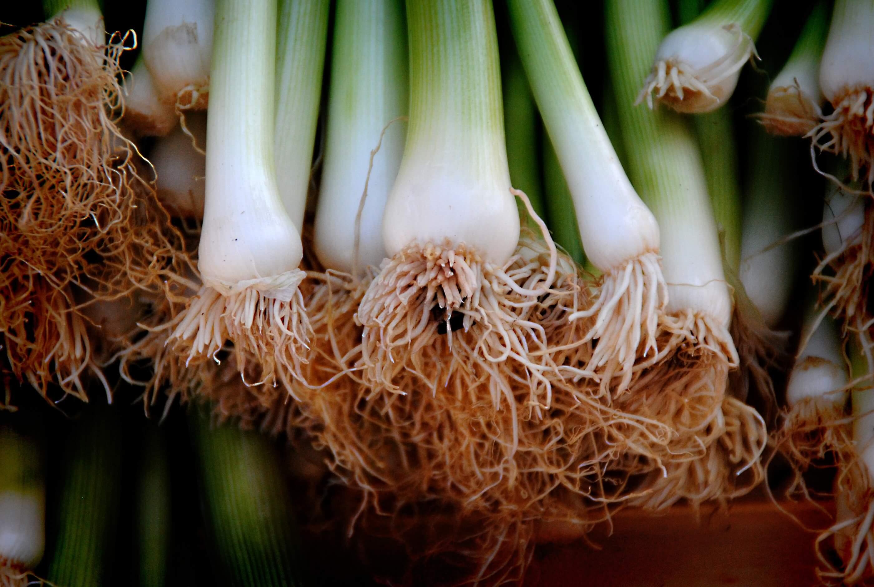 Comment Cultiver Les Oignons comment semer le poireau ? | je jardine monpotdefleurs