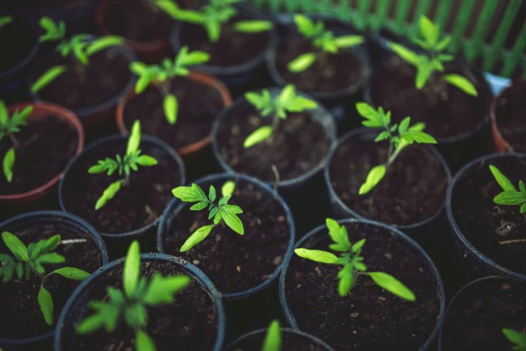 semis tomate monpotdefleurs