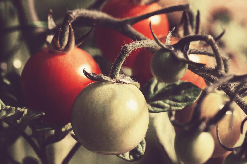 culture tomate monpotdefleurs