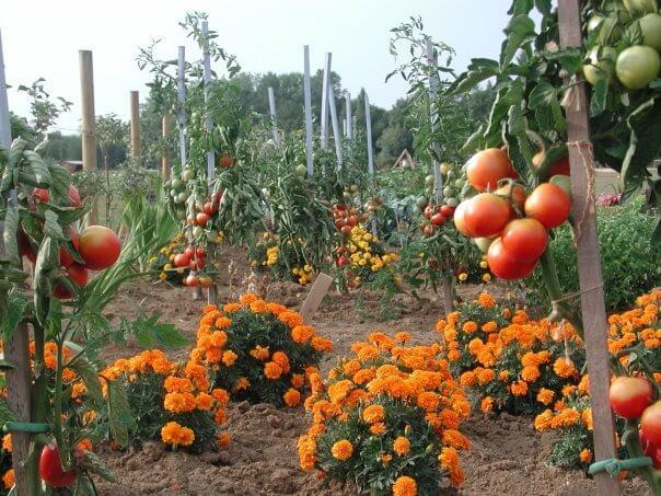 tomates de maryline motte monpotdefleurs